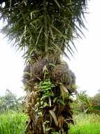 arbre producteur de tagua