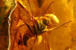 Insecte piégé dans l'ambre il y a 40 millions d'années